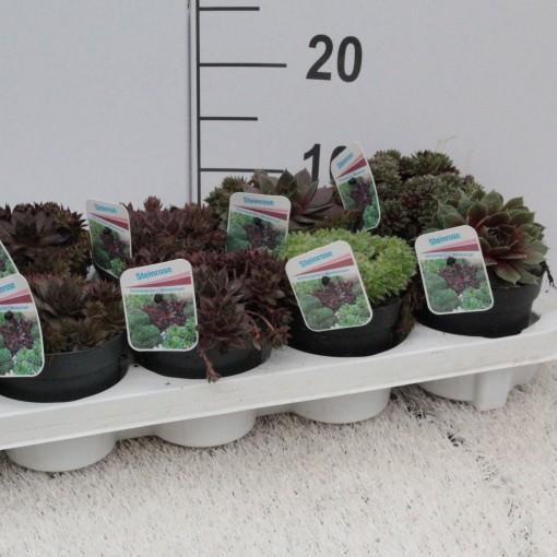 Sempervivum MIX (Experts in Green)