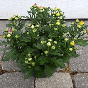 Chrysanthemum MIX IN POT (Experts in Green)