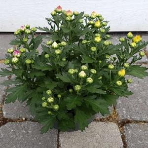 Chrysanthemum MIX IN POT