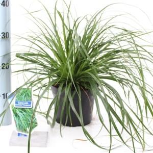 Carex oshimensis 'Eversheen' (About Plants Zundert BV)