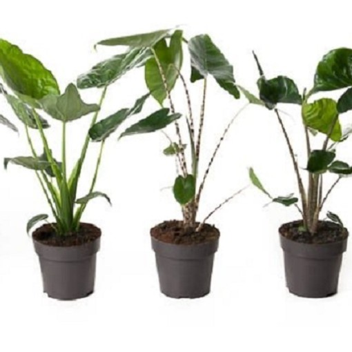 Alocasia MIX (Ammerlaan, The Green Innovater)