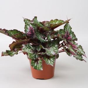 Begonia BELEAF ALASKA CREEK