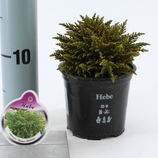 Hebe ochracea 'James Stirling' (About Plants Zundert BV)