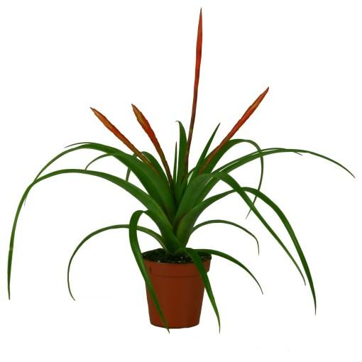 Tillandsia flabellata (Ammerlaan, The Green Innovater)
