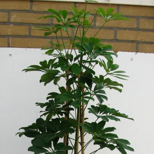 Schefflera arboricola 'Compacta' (Snoeker)