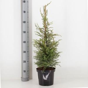 Juniperus communis 'Suecica' (Bremmer Boomkwekerijen)