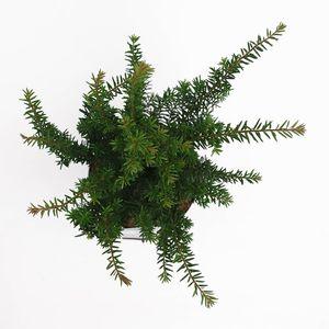 Taxus baccata (Bremmer Boomkwekerijen)