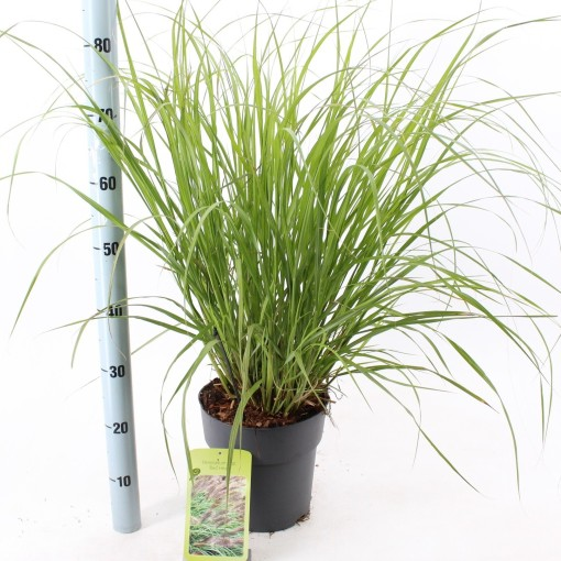Pennisetum alopecuroides 'Red Head' (About Plants Zundert BV)