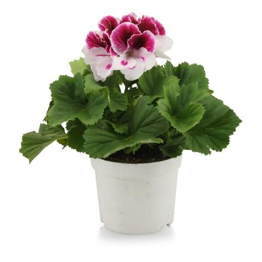 Pelargonium 'Bravo' (Adrichem Potplanten)