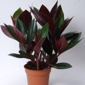 Costus erythrophyllus 'Ruby Green' (Van der Arend Tropical Plantcenter)