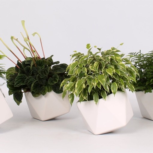 Houseplants MIX (Groot BV, Kwekerij J. de )