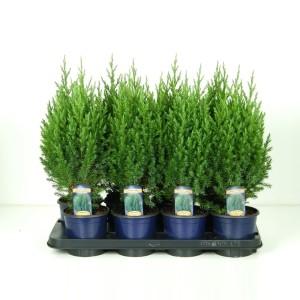 Juniperus chinensis 'Stricta' (Vredebest, Kwekerij )