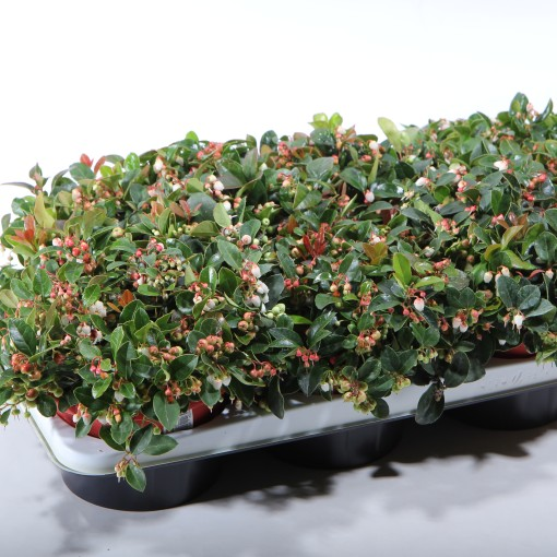 Gaultheria procumbens WINTER PEARLS RED BARON (Experts in Green)