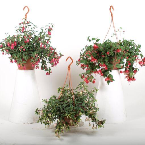 Fuchsia MIX (Kwekerij Baas)