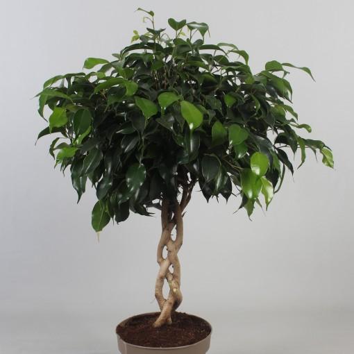 Ficus benjamina 'Danielle' (Kwekerij de Schenkel)
