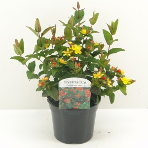 Hypericum x inodorum MAGICAL RED (Hooftman boomkwekerij)