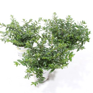 Cuphea hyssopifolia FLORIGLORY MIX (Experts in Green)