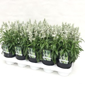 Salvia farinacea 'Farina White'
