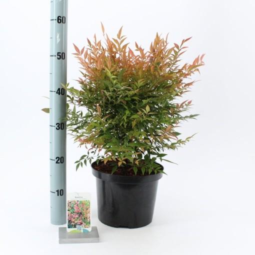 Nandina domestica 'Gulf Stream' (About Plants Zundert BV)