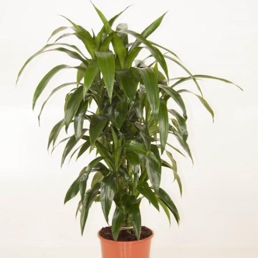 Dracaena fragrans 'Janet Craig' (Ammerlaan, The Green Innovater)