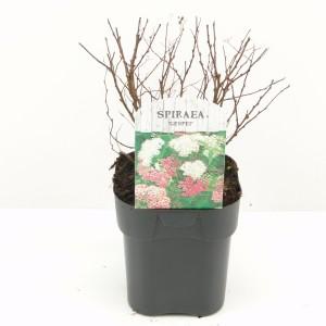 Spiraea japonica 'Genpei' (Hooftman boomkwekerij)