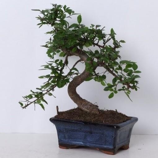 Ulmus parvifolia (Trendy Bonsai BV)