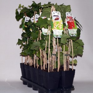Ribes rubrum MIX (BOGREEN Outdoor Plants)