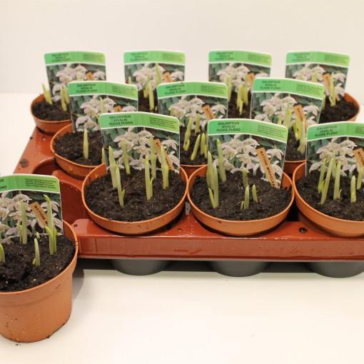 Galanthus nivalis 'Flore Pleno' (Gebr. Straathof)