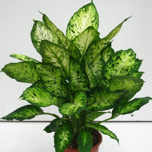 Dieffenbachia 'Cynthes' (Snoeker)