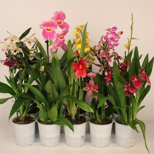 Orchids MIX (Lansbergen Orchids)