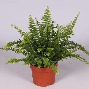 Nephrolepis exaltata 'Green Lady' (Amstelzicht BV)