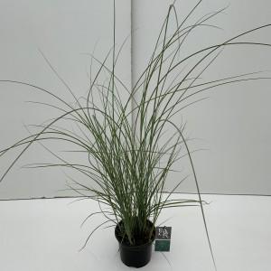Miscanthus sinensis 'Gracillimus'