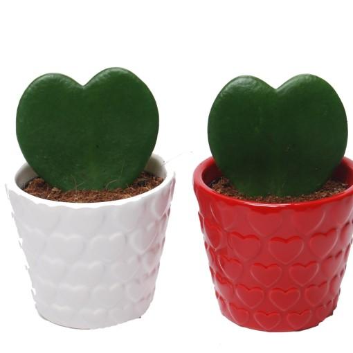 Hoya kerrii (Van der Arend Tropical Plantcenter)