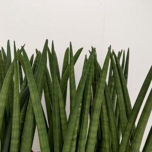 Sansevieria cylindrica 'Victory' (RuBa Baers)