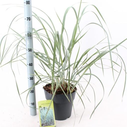 Leymus arenarius 'Blue Dune' (About Plants Zundert BV)