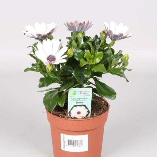 Osteospermum FLOWERPOWER WHITE (Endhoven Flowering Plants)