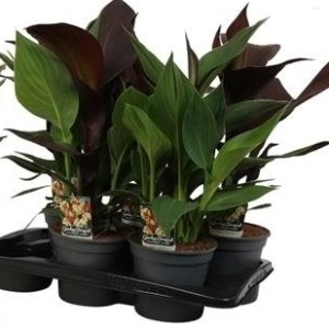 Canna 'Cleopatra' (Vreugdenhil Bulbs & Plants)