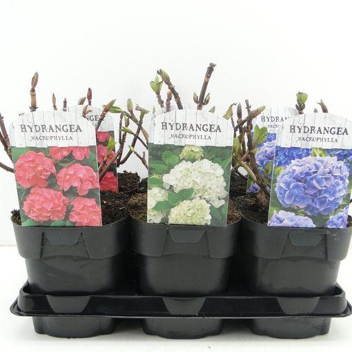 Hydrangea macrophylla MIX (Hooftman boomkwekerij)