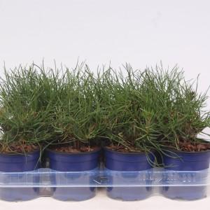 Pinus mugo mughus (Vredebest, Kwekerij )
