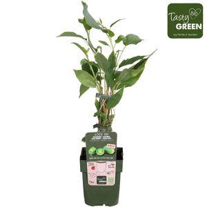 Actinidia arguta 'Issai' (Hoogeveen Plants)