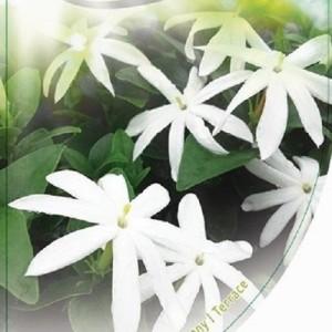 Jasminum laurifolium 'Angel Wing' (Dool Botanic)