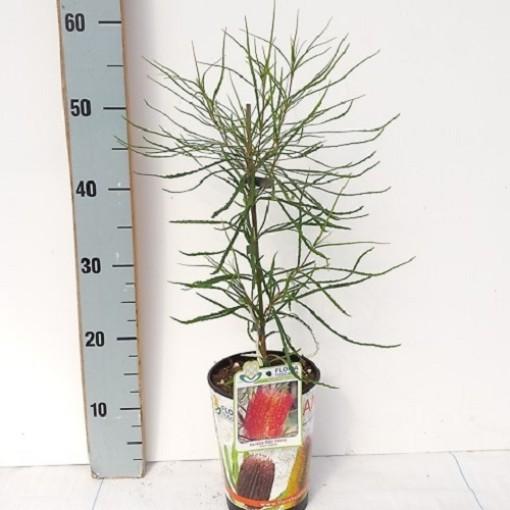 Banksia occidentalis (Flora Toscana)