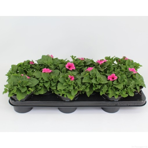 Petunia SURFINIA HOT PINK (Sonneveld Plants)