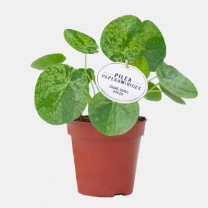 Pilea peperomioides 'Mojito'