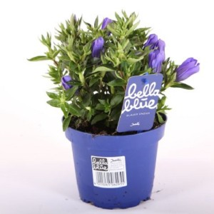 Gentiana scabra BELLA BLUE (Experts in Green)