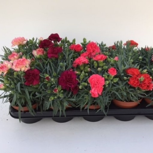 Dianthus ADORABLE MIX (Green Collect Sales)