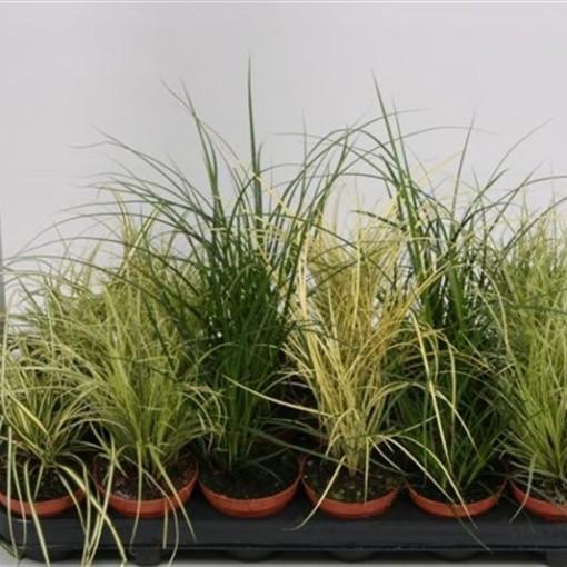 Carex MIX (Hkw. van der Velden)