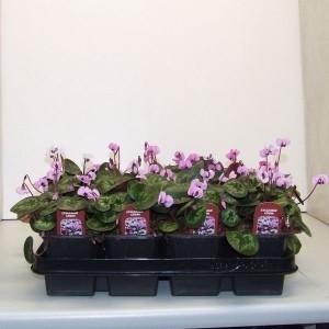 Cyclamen coum (De Jong Plant BV)