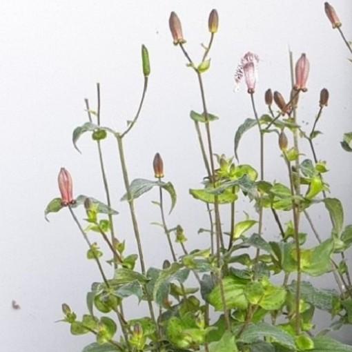 Tricyrtis formosana (Leeuw-den Engelsen)
