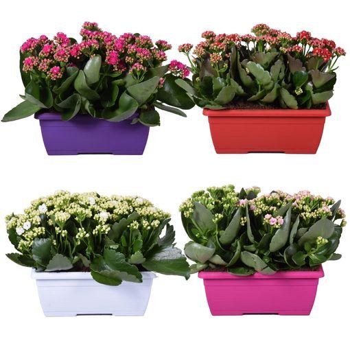 Kalanchoe blossfeldiana MIX (Adrichem Potplanten)